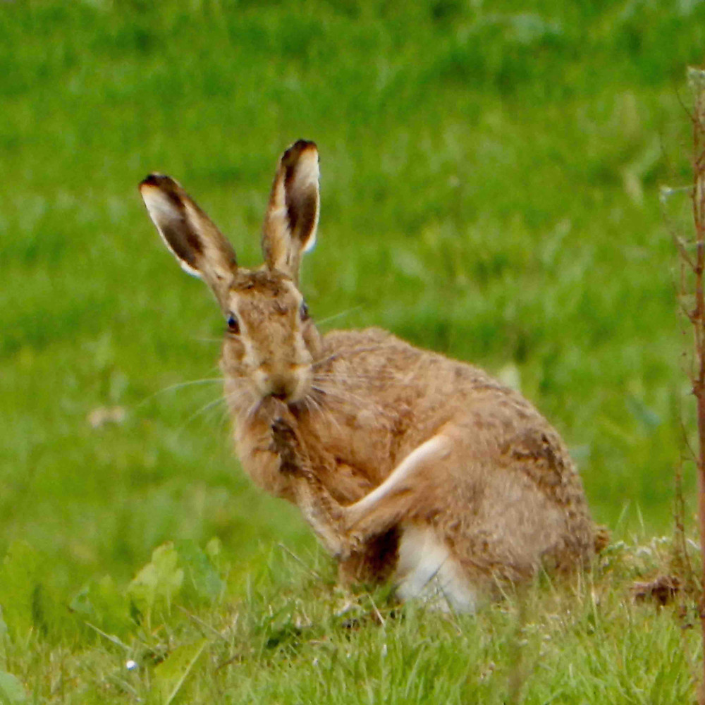 Hare grooming in the field next to the house