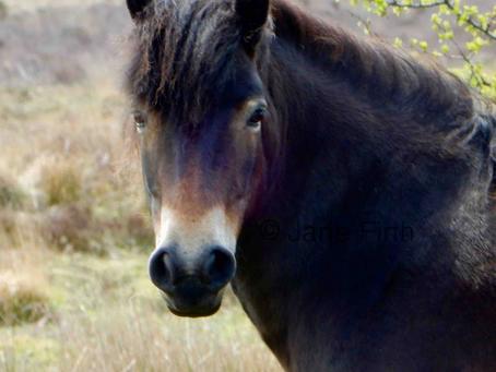 A 50 000 year old pony breed: the Exmoor pony
