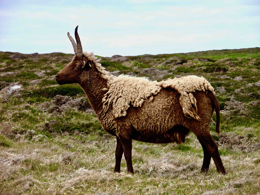 Manx sheep naturally shedding its fleece, photographed on the Isle of Man