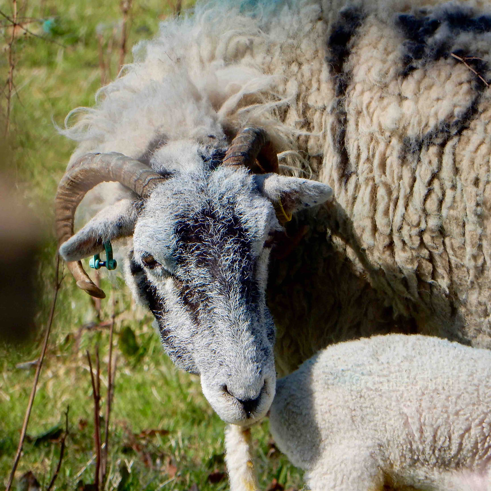 Mature Swaledale mother - a valuable resource for farmers