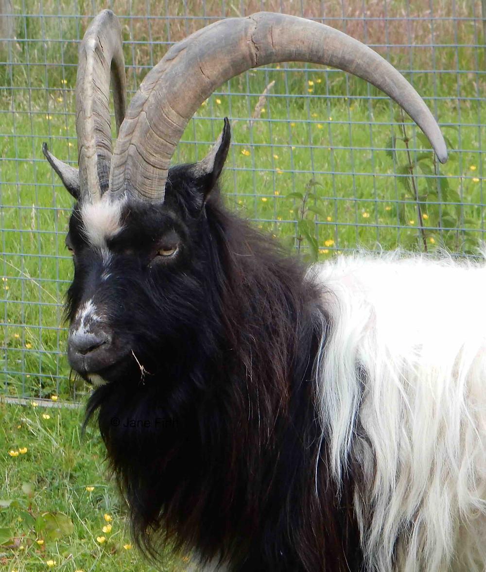 Bagot Goat photographed at the Lake District Wildlife Park