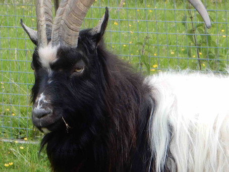 Bagot Goats - a breed that is more than 600 years old.