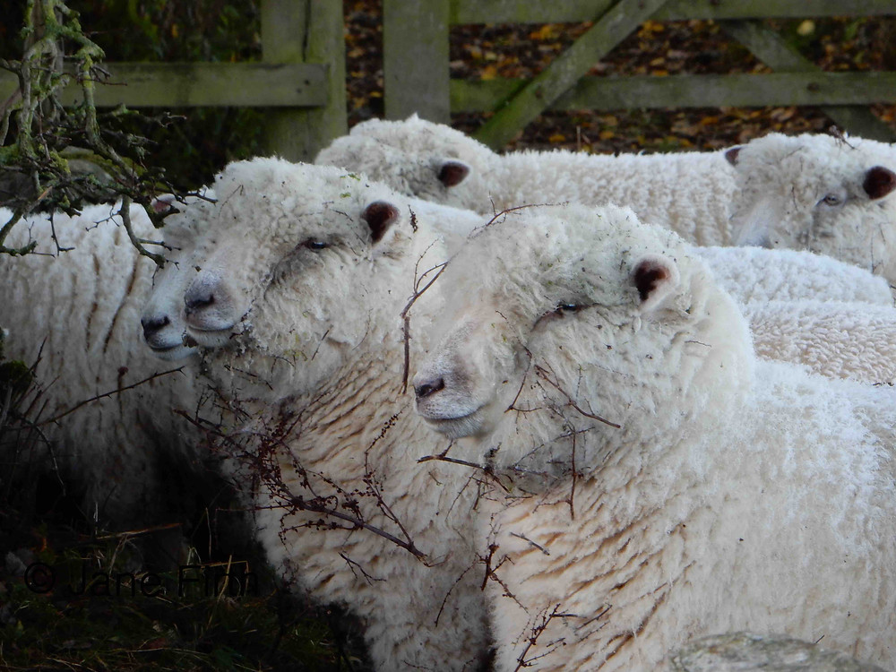 Ryeland sheep photographed locally and looking as though they have been through a hedge!