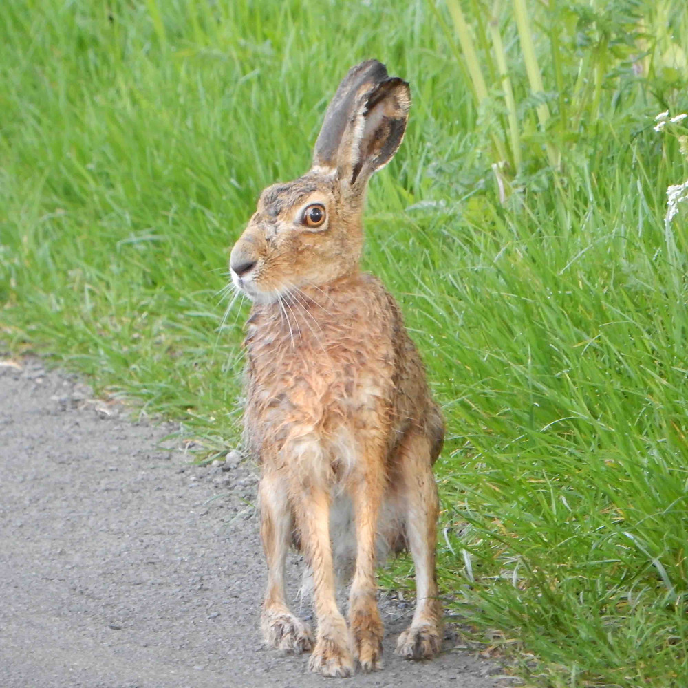 Hare beside the grass verge, sitting up and watching me!