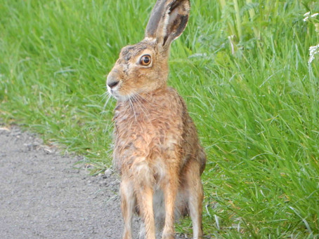 Why we need to protect our Brown Hares