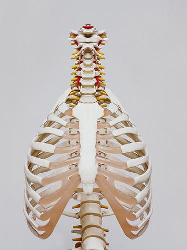 Cavité de la poitrine