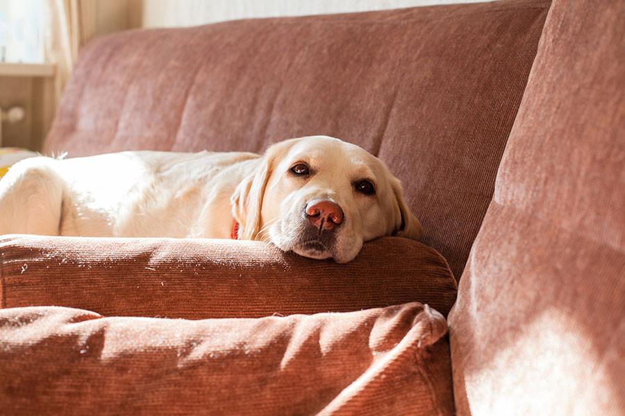 Cane Labrador Divano