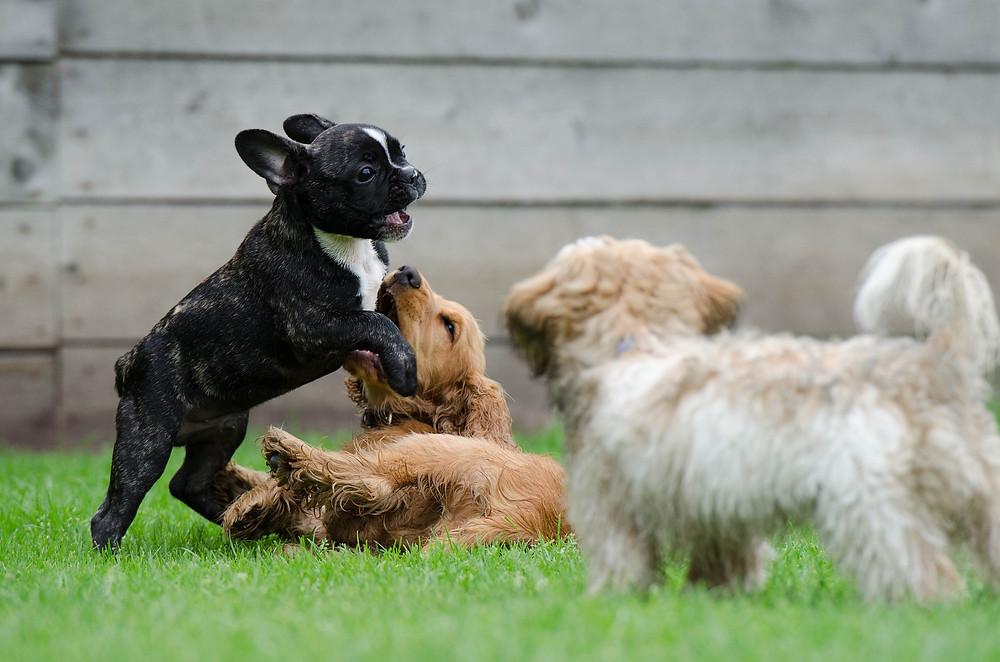il cucciolo e la socializzazione - Balanced Dogs Alessio Borromeo