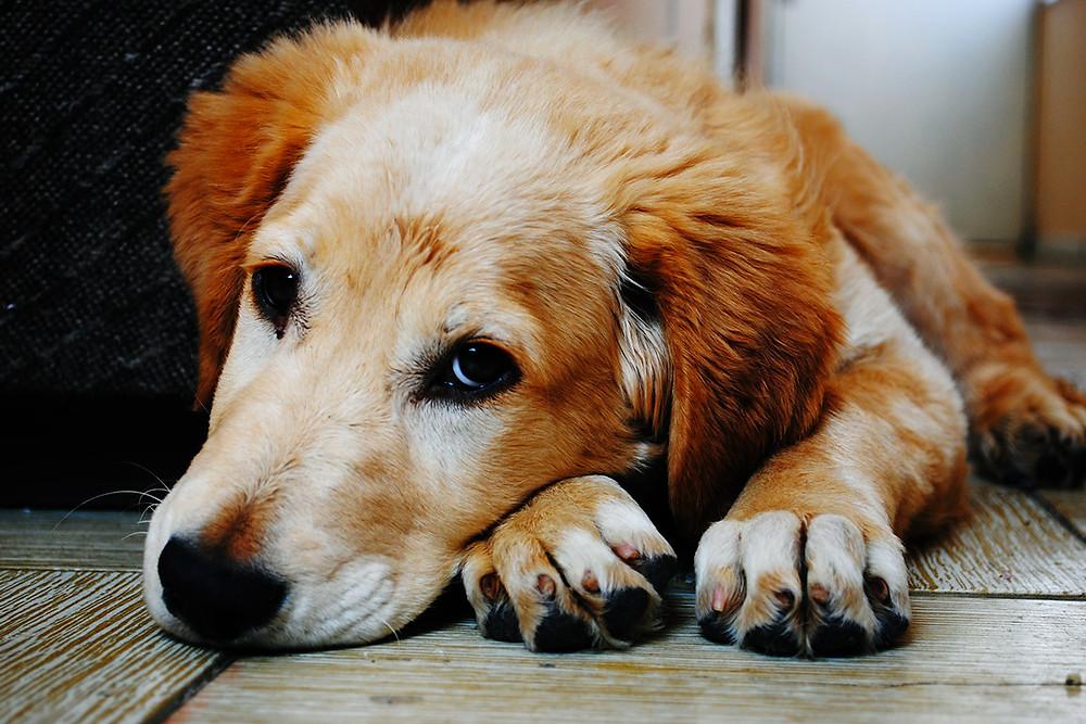 cane adulto - adozione