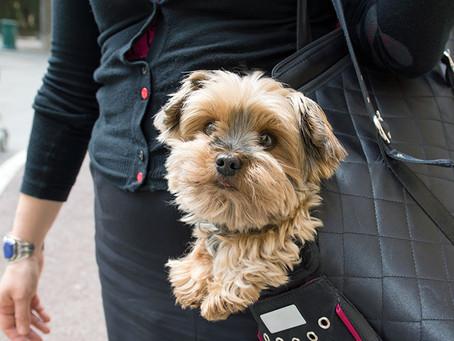 Perché addestrare un cane di piccola taglia