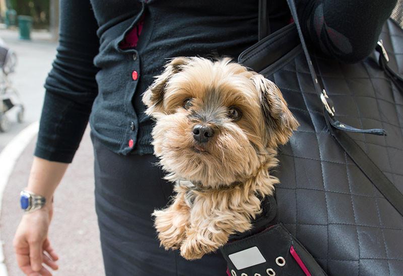 addestrare cani di piccola taglia yorkshire