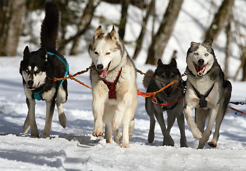 Siberian Husky Dog Sled Dogsled