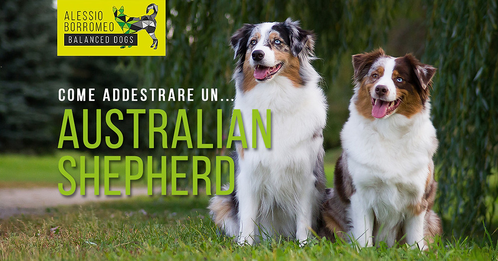 Addestrare un Australian Shepherd