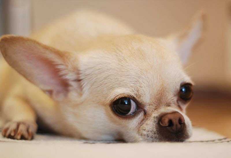 addestramento cani piccola taglia chihuahua