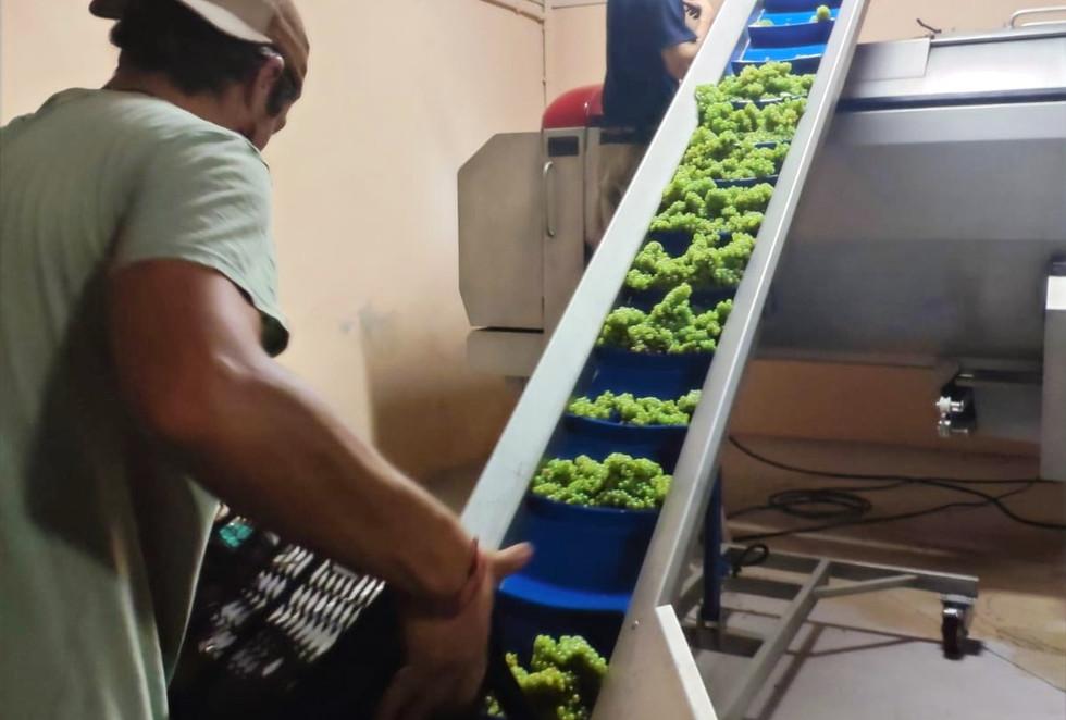 Bodega Olorón, harvesting