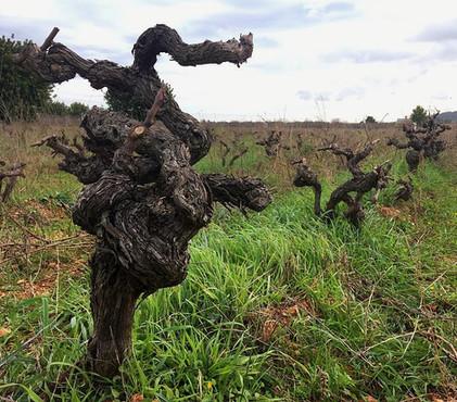 7103 viñas viejas