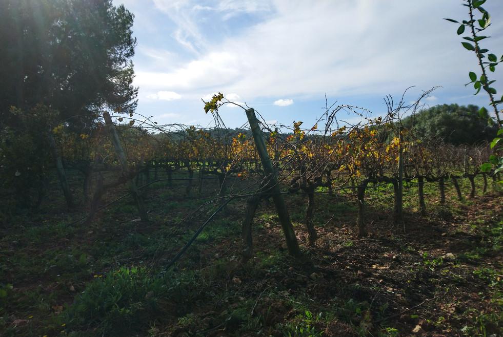 Oliver Moragues vineyard