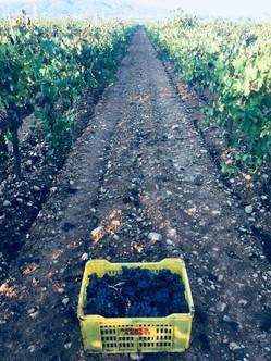 7103 recogiendo las uvas tintas