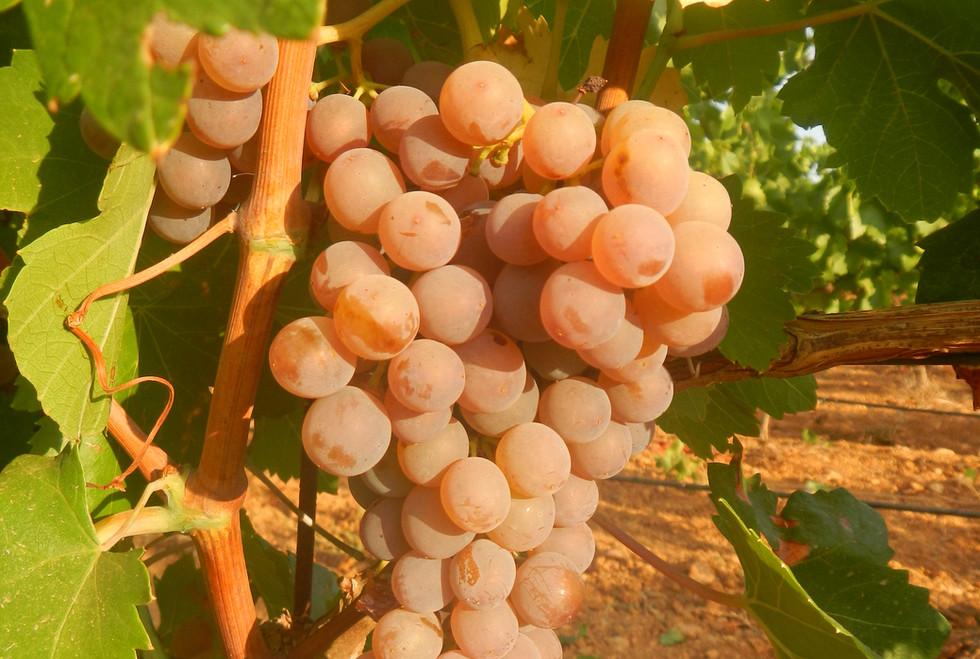 Bodega Son Juliana, giró ros grapes