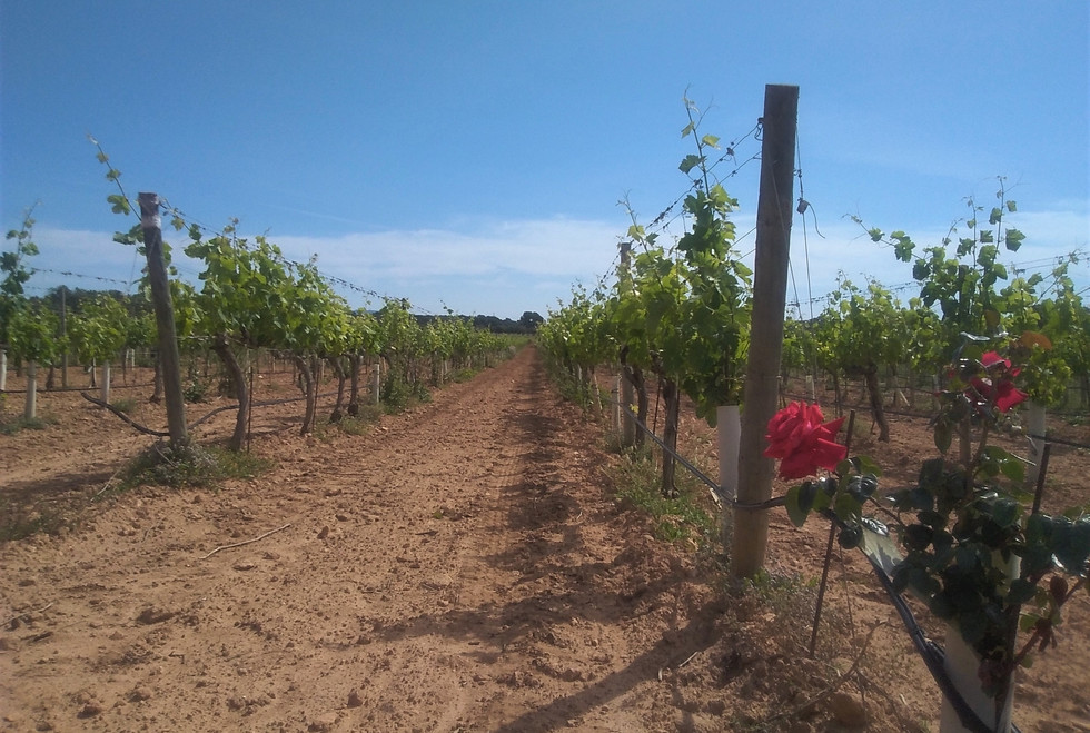 Bodegas Bordoy rose and vines