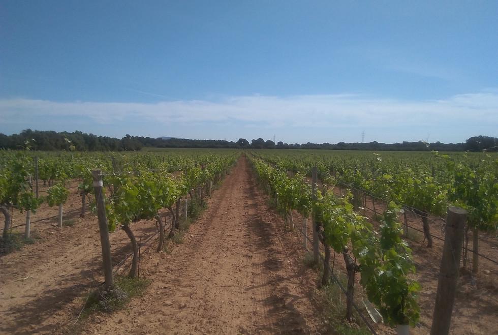 Bodegas Bordoy vines
