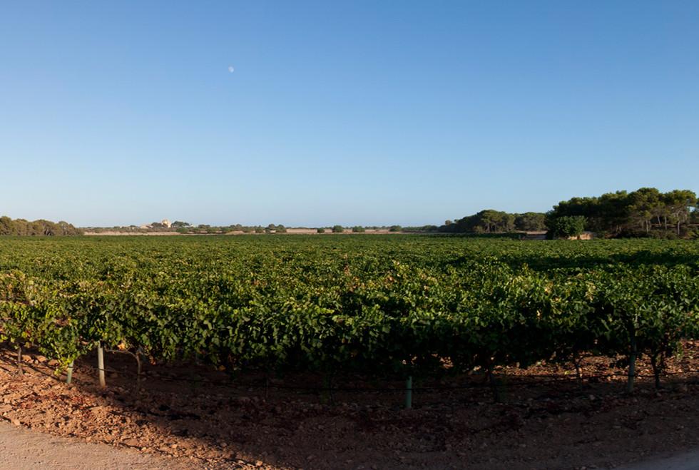 Bodegas Bordoy summer vines
