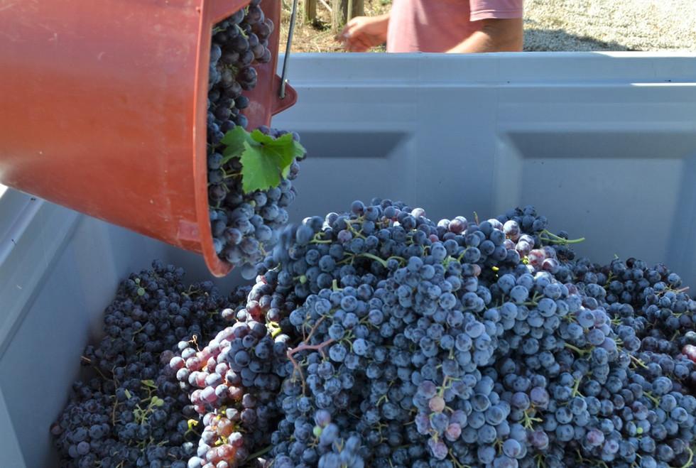 Bodega Son Juliana, collecting the grapes
