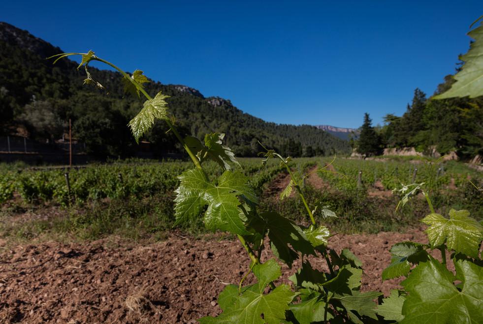 The vines at Son Vich de Superna