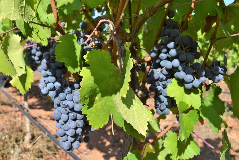 Bodega Son Juliana Mantonegro grapes