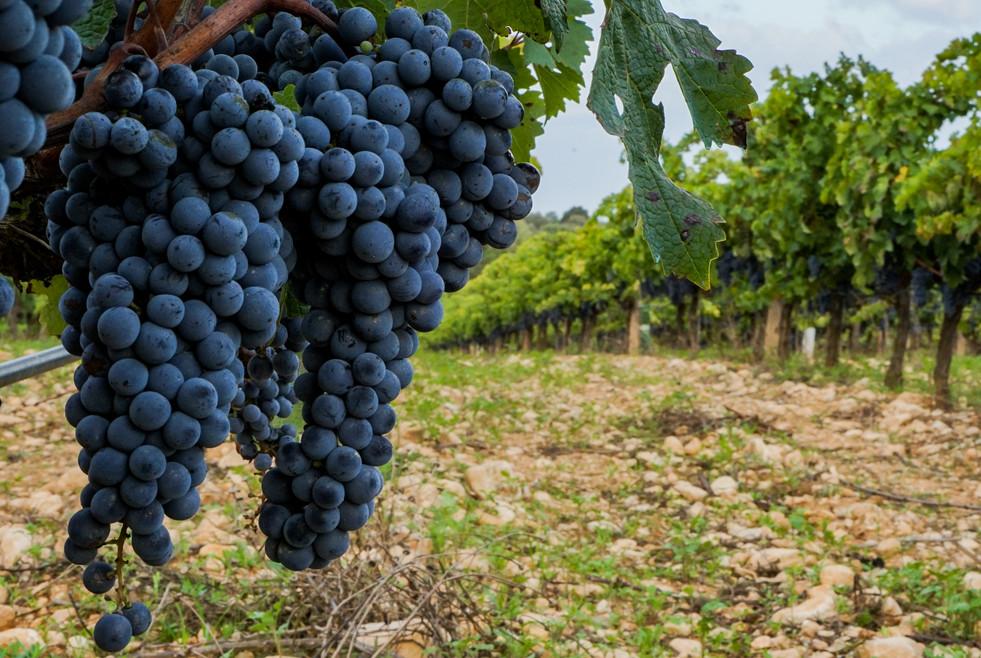 The vineyards at Oliver Moragues