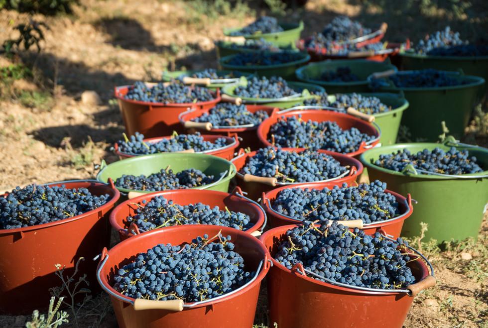 Bodega Son Juliana, red grapes