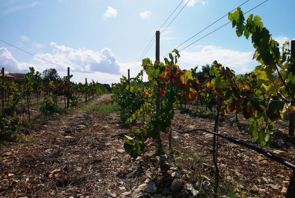 Vines at Can Vidalet