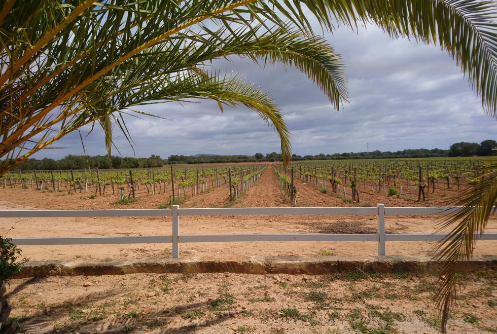 Bodegas Bordoy vineyard