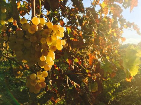 7103 el sol en las uvas