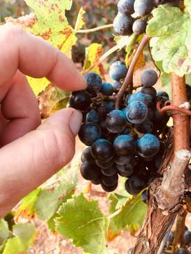 7103 revisando las uvas