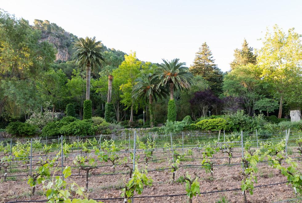 Growing vines at Son Vich de Superna