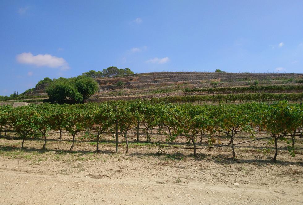 Bodega Olorón vines on the hill
