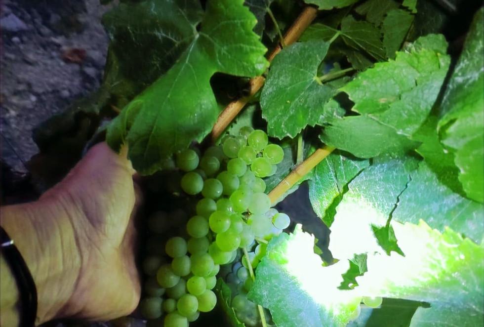 Bodega Olorón, the grapes are ready