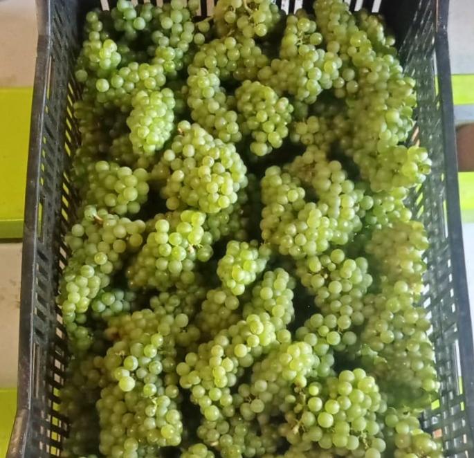 Bodega Olorón collected grapes