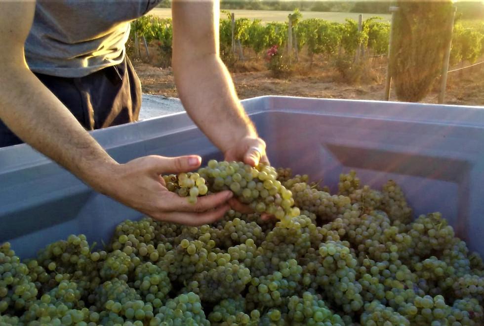 Bodega Son Juliana, checking the grapes