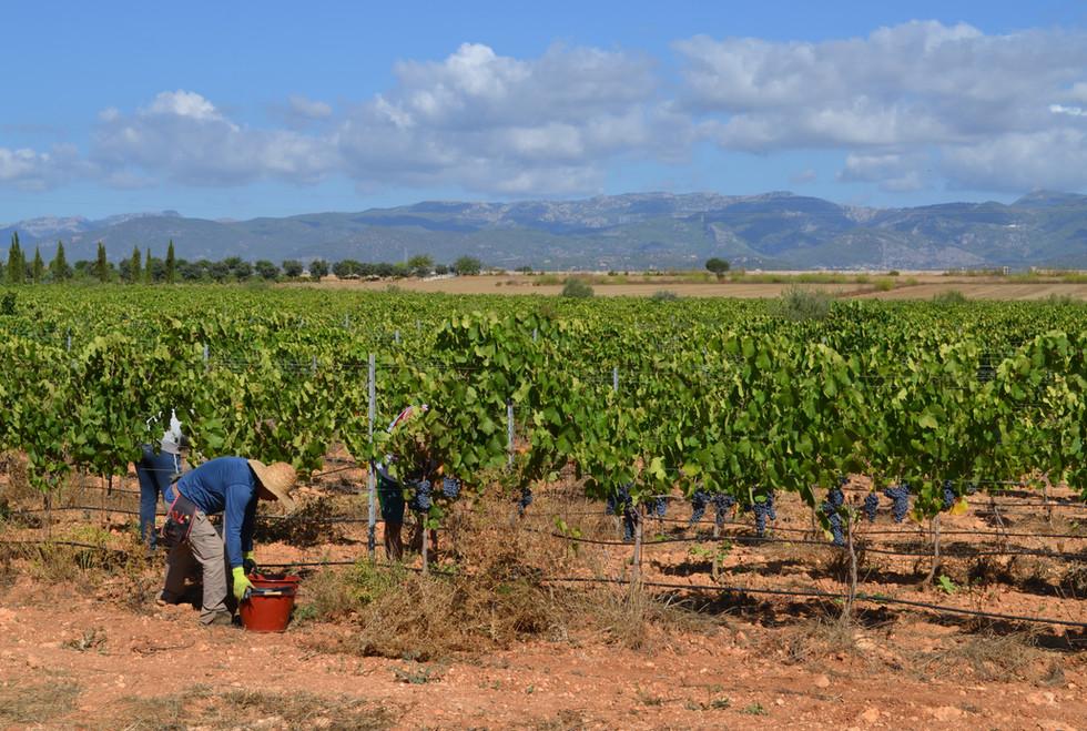 Bodega Son Juliana harvest, with Tramuntana background