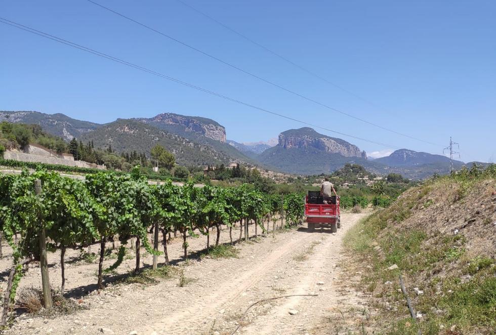 Bodega Olorón harvest