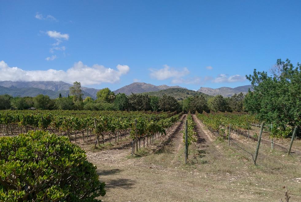 Vineyard at Can Vidalet
