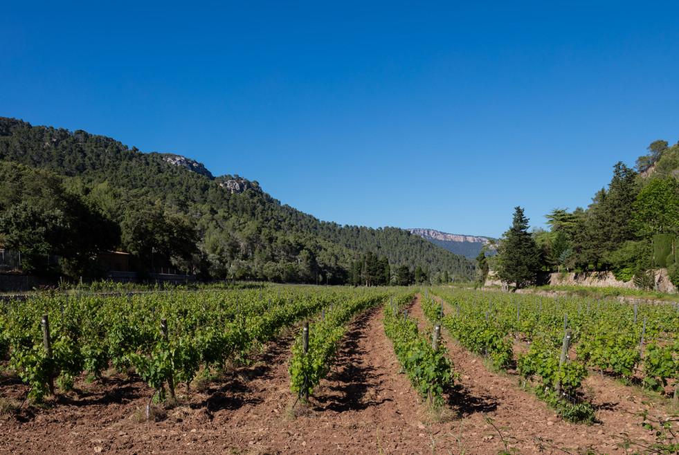 Vineyard at Son Vich de Superna