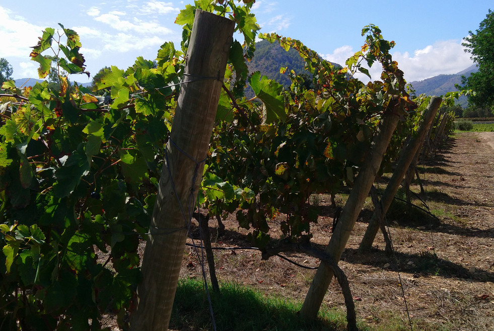 Close up of vines at Can Vidalet