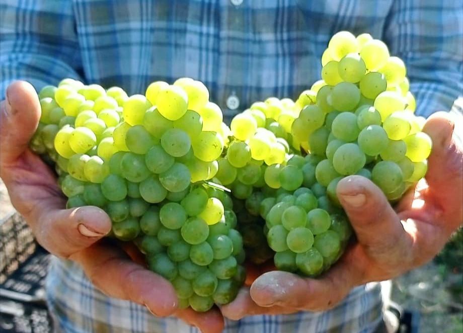 Bodega Olorón chardonnay grapes
