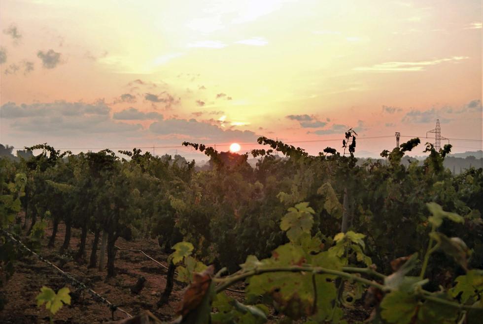 Bodega Son Juliana sunrise on the vines