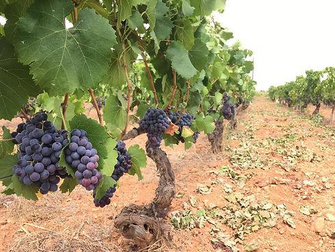 7103 vines 2 (2).jpg
