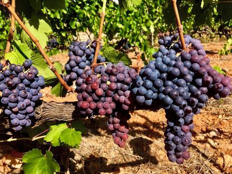 7103 uvas tintas