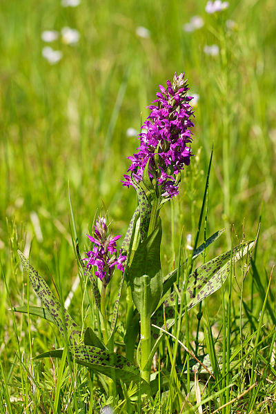 Dactylorhiza majalis. Foto: Jörg Hempel,  Creative Commons Attribution-Share Alike 3.0 Germany